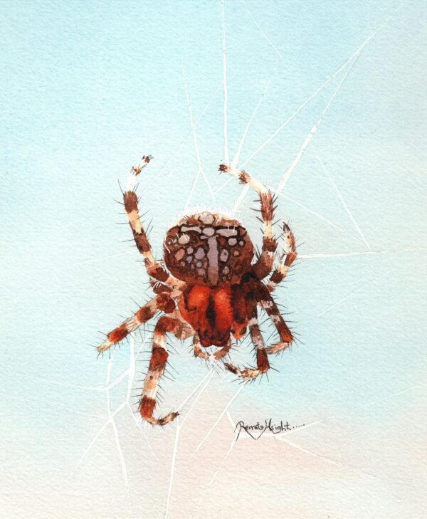 orb weaver, marbled orb weaver, orange orb weaver, orange spider, orange watercolor spider, orange watercolour spider, spider art, spider artist,