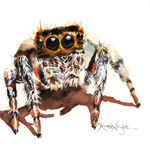 jumping spider, jumping spider art, spider art, spider artist, watercolor spider, watercolour spider, arachnid art