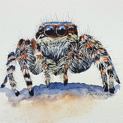 sparky, jumping spider, jumping spider painting, spider painting, watercolor spider, watercolour spider, spider art, spider artist,