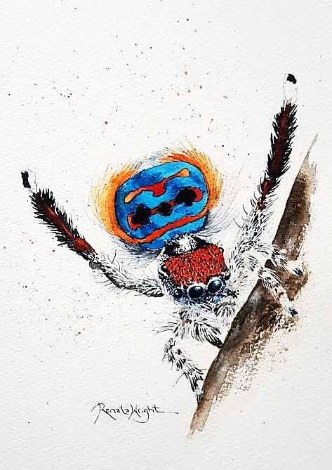 peacock spider, peacock spider painting, spider painting, watercolour spider