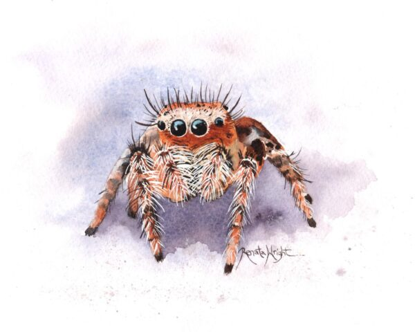 jumping spider, jumping spider art, watercolor jumping spider, watercolor spider, watercolour jumping spider art, renata wright, renata wright art
