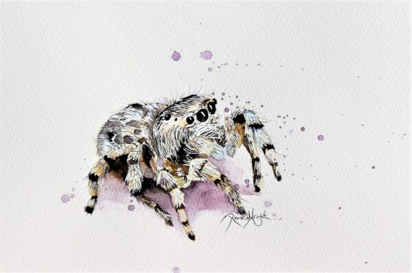peacock spider, spider painting, peacock spider painting, watercolour peacock spider, maratus fimbriatus,