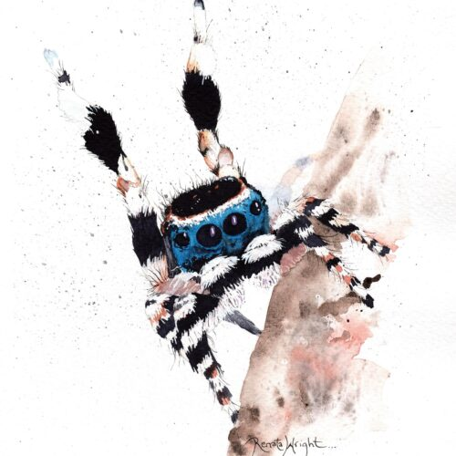 maratus personatus, spider art, peacock spider art, peacock spider, arachnid art, spider artist, renata wright