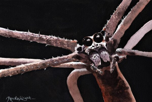 net caster, net casting spider, ogre face spider, deinopus subrufa