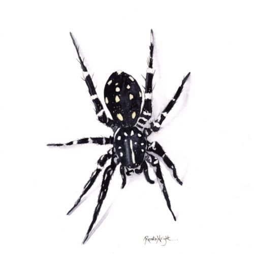 white spotted swift spider